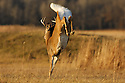 00274-309.01 White-tailed Deer Buck (DIGITAL) is bounding with tail raised across large meadow.  Run, leap, hunt, prey, action, prairie.  H4A1