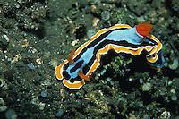 Underwater view of a Chromodoris elizabethina nudibranchs. Papua New Guinea.