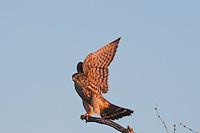 Merlin (Falco columbarius), adult landing, Sinton, Corpus Christi, Coastal Bend, Texas, USA