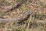 Nile monitor lizard on the bank of the Zambezi river
