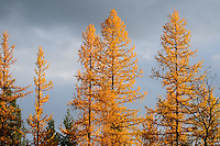 Tamarak larch in autumn with contrasting blue sky background.
