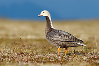 Emperor Goose (Chen canagica) on the Russian breeding grounds. Chukotka, Russia. July.