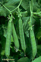 HS26-124z  Pea - shelling pea pods - Green Arrow variety..