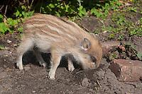 Wildschwein, verwaiste, pflegebedürftige, in Menschenhand gepflegte, zahme Jungtiere spielen und wühlen im Garten, wird in menschlicher Obhut großgezogen, Jungtier wird von Hand aufgezogen, Aufzucht eines Wildtieres, Wild-Schwein, Schwarzwild, Schwarz-Wild, Frischling, Junges, Jungtier, Tierkind, Tierbaby, Tierbabies, Schwein, Sus scrofa, wild boar, pig