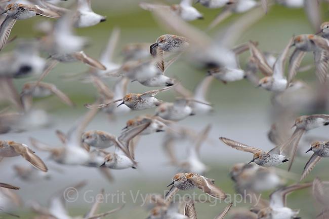Western Sandpipers (Calidris mauri) in breeding (alternate) plumage in flight. Gray's Harbor County, Washington. April.
