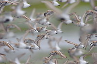 Western Sandpipers (Calidris mauri) in breeding (alternate) plumage in flight. Gray's Harbor County, Washington. April.