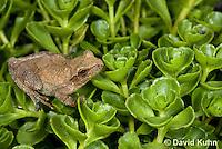 0809-0902  Spring Peeper Frog Climbing on Green Sedums, Pseudacris crucifer (formerly: Hyla crucifer)  © David Kuhn/Dwight Kuhn Photography