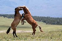 Wild Horses 2019
