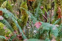 Coastal Black-tailed Deer Buck or Columbian black-tailed deer buck (Odocoileus hemionus columbianus).  Late Fall, Pacific Northwest