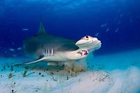 great hammerhead shark, Sphyrna mokarran endangered species, Bimini, Bahamas, Caribbean Sea, Atlantic Ocean
