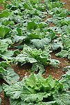 Monticello. Thomas Jefferson estate vegetable garden. Cabbage 'savory'.