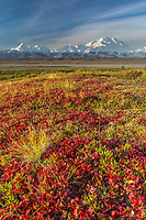 Crimson colored red bearberry colors the autumn tundra, Denali in the distance, Denali National Park, Alaska.