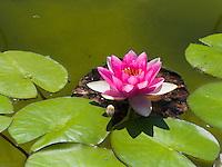Fleur de nenuphar violet
