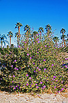 15180-CG Desert Ruellia or Desert Petunia, Ruellia peninsularis, by Mexican Fam Palms, in January, at Palm Springs, CA USA.