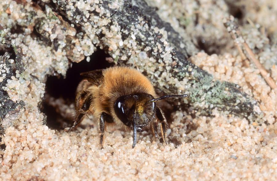 Frühlings-Seidenbiene, an Niströhre im Sand, Nest, Weiden-Seidenbiene, Seidenbiene, Seidenbienen, Colletes cunicularius, Spring Colletes, vernal colletes, Spring mining bee, la collète des sablières