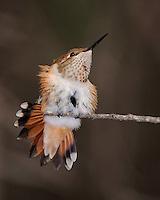 Rufous Hummingbird, Southeastern Arizona