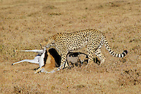 Cheetah (Acinonyx Jubatus) with kitten and gazelle.  Africa