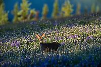 Columbian black-tailed deer (Odocoileus hemionus columbianus) doe in subalpine meadow filled with wildflowers.  Olympic National Park, WA.  Summer.
