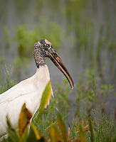 Wood Stork standing in water with green plants partially in front of his body,face and body sharp. Image is vertical