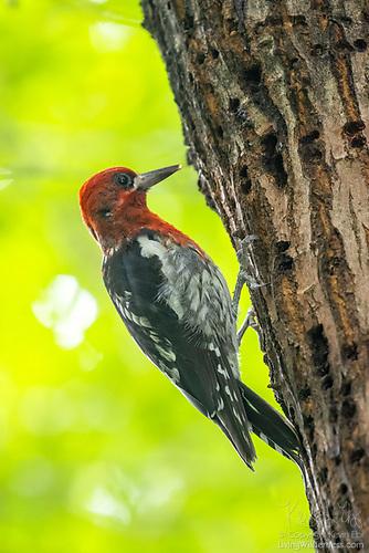 Sapsucker on Elm Tree