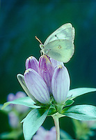 Cabbage White Butterfly- Artogeia Ra Pae, sitting on closed petals of Gentian flower