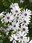 African Daisy, Osteospermum Sopranos White