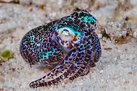 humming-bird bobtail squid, or Berry's bobtail squid, Euprymna berryi, Malapascua Island, Philippines, Visayan Sea, Pacific Ocean