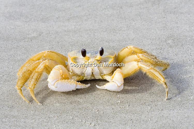 Ghost crab on sandy beach