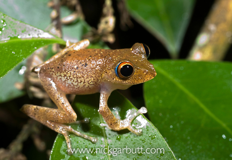 Endemic tree frog (Boophis boehmei). Active at night. Masoala National Park, north east Madagascar.