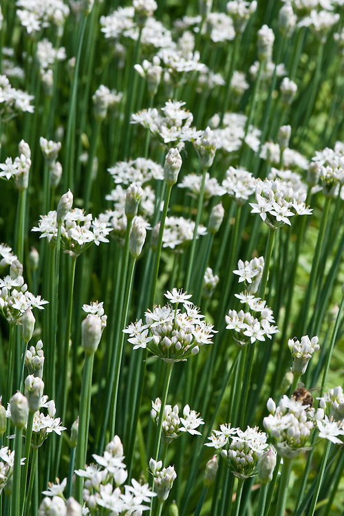 White flowers of garlic or Chinese chives, late August.