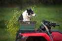 """22/11/16<br /> <br /> Meg waits on the farm's quad bike.<br /> <br /> As storm Angus lashes England for the second day, organic mistletoe farmer Mark Adams inspects this year's bumper Christmas crop for damage, growing in his apple orchards near Tenbury Wells, where the parasitic plant makes its home.<br /> <br /> Mark said: """"It's been a fantastic year for mistletoe, the mild spring meant there was really great germination so this could be one of the best crops ever.""""<br /> <br /> So as you pucker up this festive season there's a good chance the little white berries above your head will have started life on one of the 1,000 apple trees on Mark's Worcestershire farm, where they have been gathering mistletoe for more than 50 years.<br /> <br /> The crop, which will take Mark and his team of eight workers from now until Christmas to harvest, will all be sold online this year and Mark said he has already got orders from all over the UK, including Scotland and London.<br /> <br /> Mistletoe can be ordered online at www.kissmemistletoe.co.uk<br /> <br /> All Rights Reserved F Stop Press Ltd. (0)1773 550665   www.fstoppress.com"""