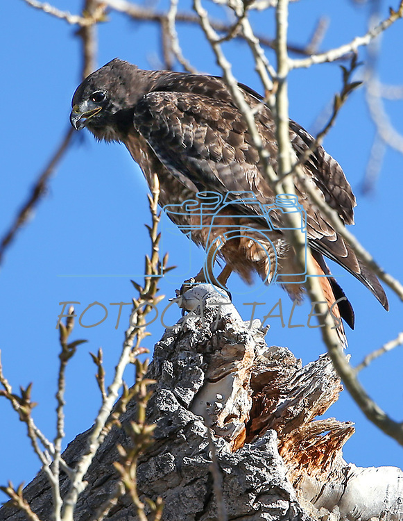 A red-tailed hawk hunts near Minden, Nev., on Friday, Jan. 15, 2016. <br /> Photo by Cathleen Allison
