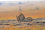 Lioness Touching Cub