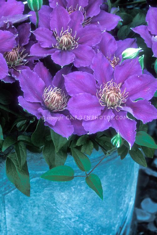 Clematis 'Bijou' in pot container, dwarf short growing vine with mauve-blue flowers