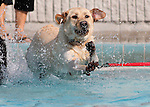 Dewey plays at the fourth annual Pooch Plunge at the Carson Aquatic Facility in Carson City, Nev., on Saturday, Sept. 22, 2012. The Parks 4 Paws event helps raise funds for local dog projects..Photo by Cathleen Allison
