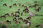 A herd of grazing Burchell's zebra and and Blue wildebeest graze on the African plain.