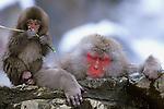 Japan, Nagano, Jigokudani, Snow Monkey Mother & Child, Japanese Macaque, (Macaca fuscata)