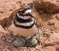 0510-1103  Killdeer, Adult Cooling Eggs in Hot Summer Sun by Shading the Eggs, Charadrius vociferus  © David Kuhn/Dwight Kuhn Photography
