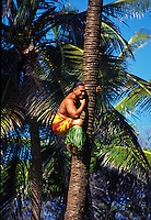 Young man climbing on palm tree at Samoan village at the Polynesian Cultural Center