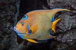 queen angelfish swimming to left
