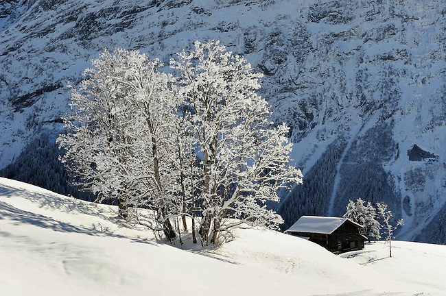 Trees covered in snow and frost on the Alpine slopes covered in winter snow near Bort - Grindelwald, Swiss Alps, Switzerland