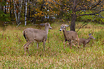 Whitetail doe acting aggressively toward another doe.