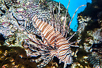Red lionfish facing right full body view.