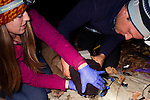 Mountain Lion (Puma concolor) biologists, Chris Wilmers and Justine Alyssa Smith, placing satellite collar onto sub-adult male, Santa Cruz Puma Project, Santa Cruz, Monterey Bay, California