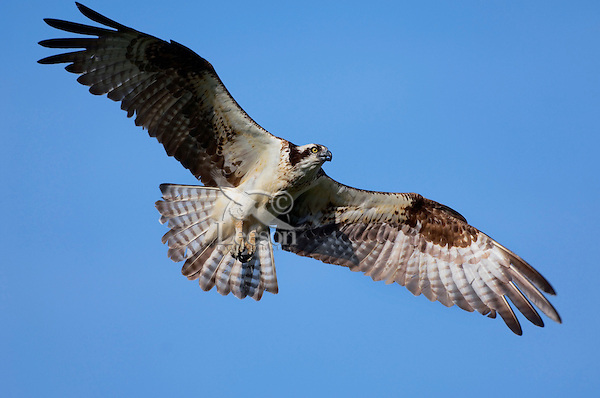 Osprey in flight..Nova Scotia, Canada..(Pandion haliaetus).