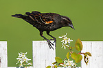 Immature red-winged blackbird perched on a backyard fence.