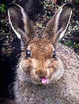 Hare sticks tongue out at photographer Karen Miller