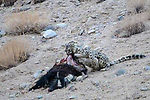 Wild female snow leopard (Panthera uncia)(sometimes Uncia uncia) feeding on its kill - a domestic yak calf (Bos grunniens). Ladakh Range, Western Himalayas, Ladakh, India.