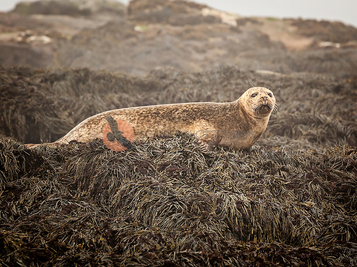Harbor Seal lying on small island off coast of Machias Seal Island, Maine
