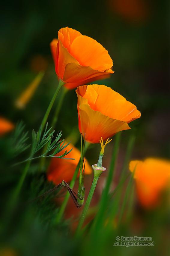 Poppies, Yavapai County, Arizona